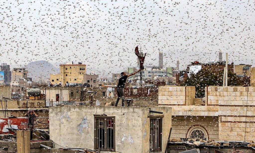 葉門一名男子試圖捕捉蝗蟲。(圖片來源:Mohammed Huwais/AFP)