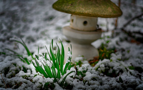 2020 march early spring evening light usa il illinois oakpark peaceful idyllic bokeh white green black stone textures snow moss daffodils plants japanese lantern outside art nature backyard landscape landschaft d850 nikon nikond850 nikondslr dslr nikon85mm 85mm nikonafsnikkor85mmf18ged nikkor