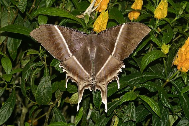 Tropical Swallowtail Moth --- Lyssa zampa