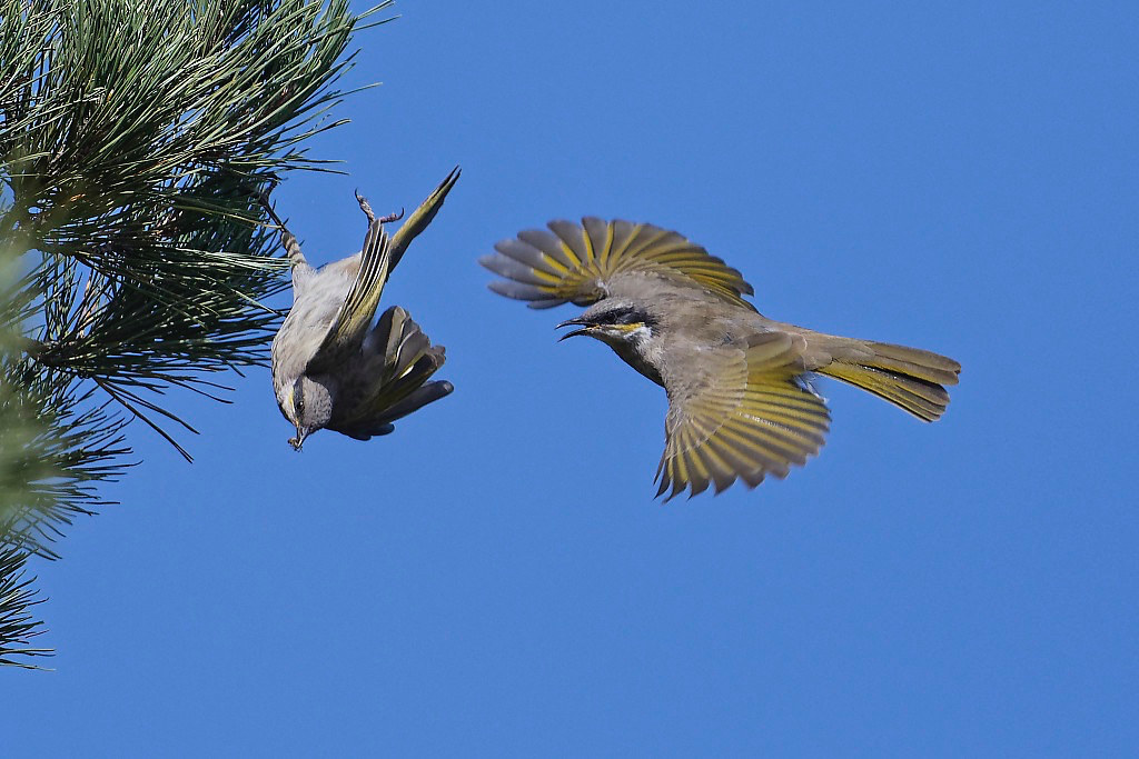 Singing Honeyeaters #2