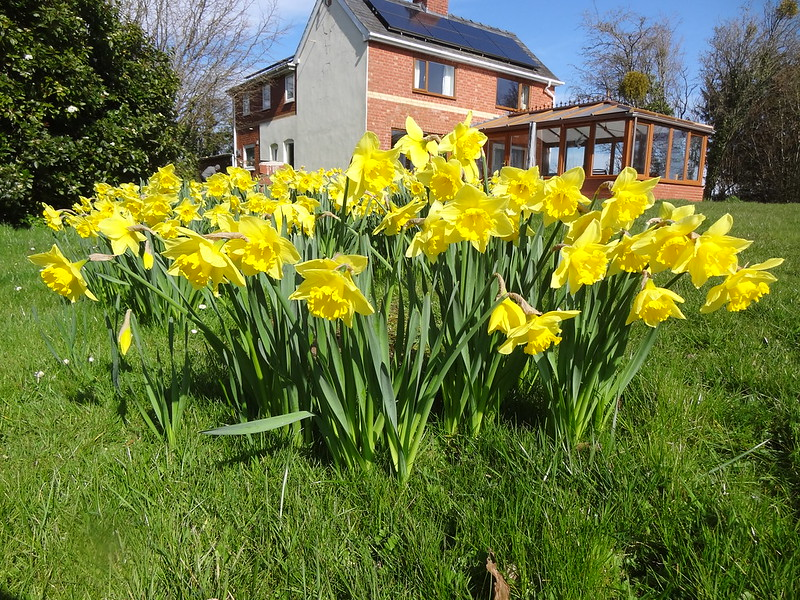 Forty Acres Daffs on Mothering Sunday