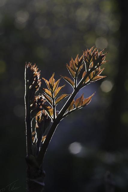 Angelica tree