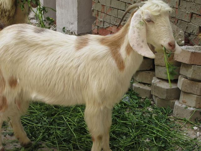 goats-7