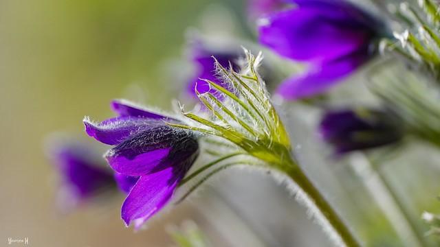 Purple - 8219
