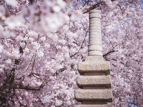 Japanese Pagoda in Bloom