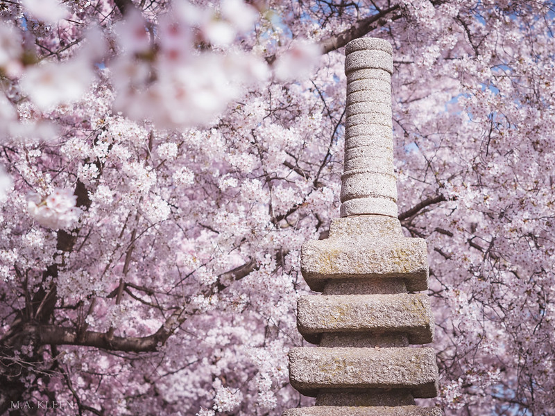 Japanese Pagoda in Bloom