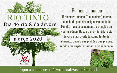 16 Pinheiro-manso