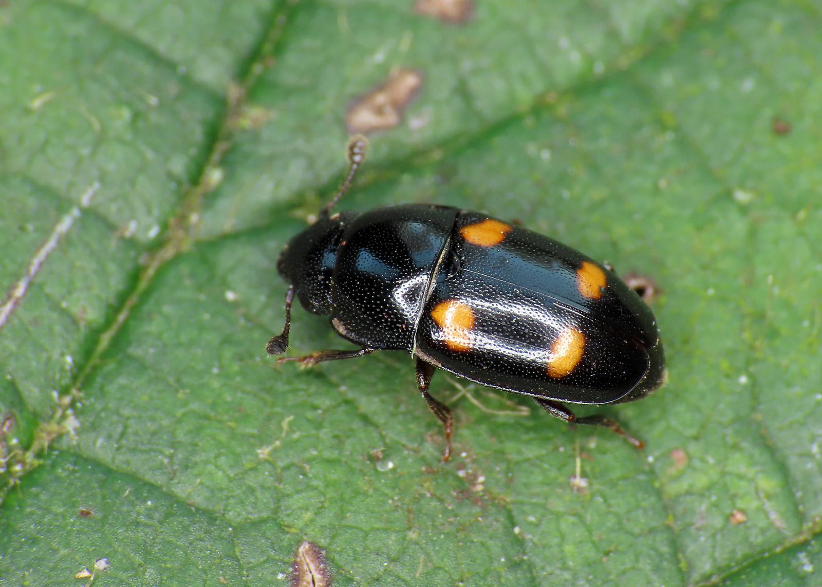 Glischrochilus hortensis