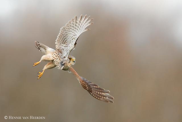 The focused falcon