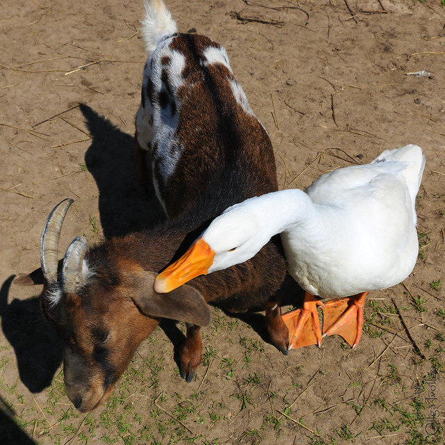 Harmful goose