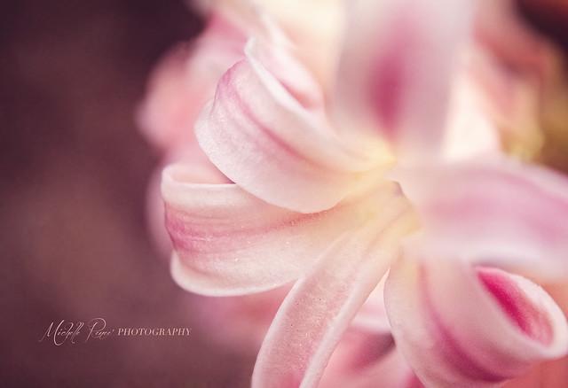 Sweet Light Pink Hyacinth