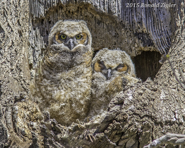 Owlets IMG_0537