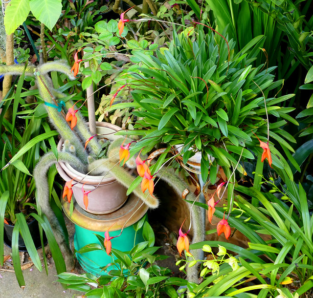 looking down into the garden, Masdevallia veitchiana 'Sol' species orchid 3-20*