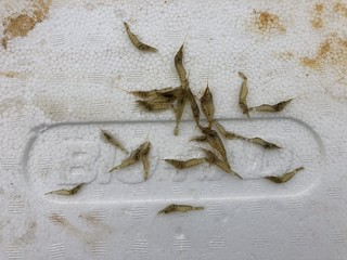 Photo of Grass Shrimp