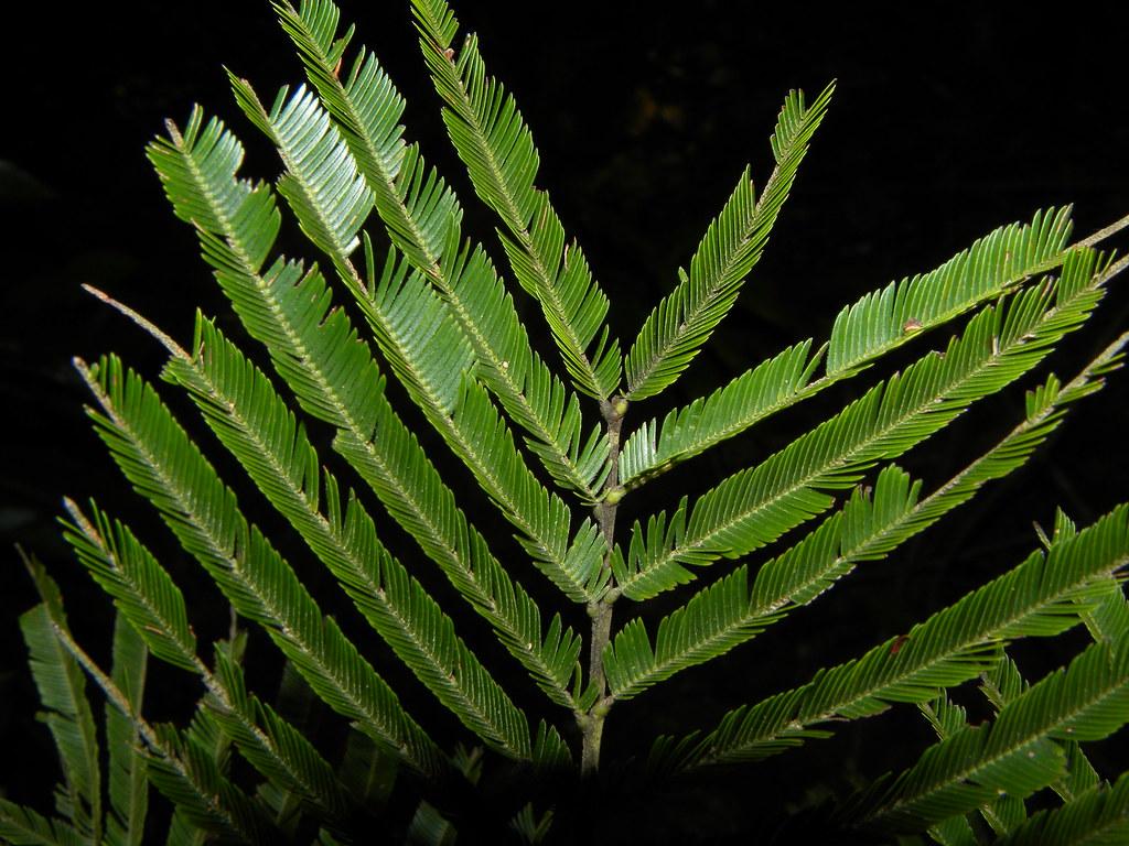 Parkia pendula (Willd.) Benth. ex Walp. * Guanacastillo - Ardillo - Tamarindón *
