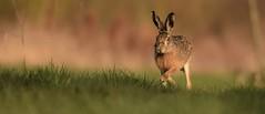 Hare at sunset  (由  moniquedoon