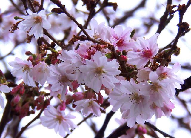 Und wieder blüht Sakura 🌸🌸🌸