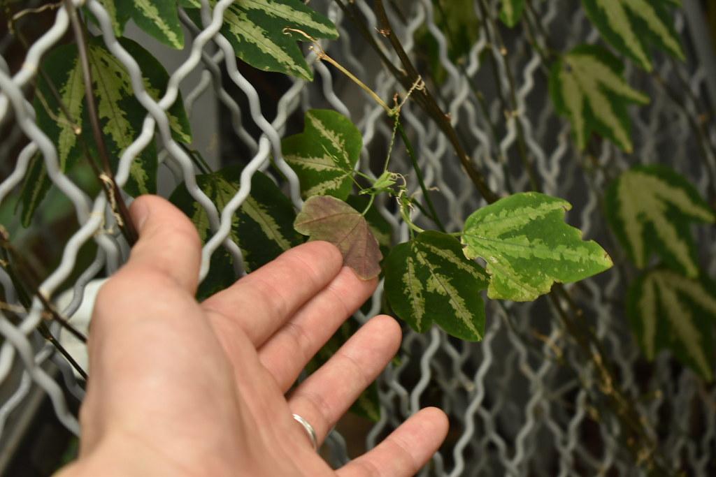 Passiflora trifasciata (2)
