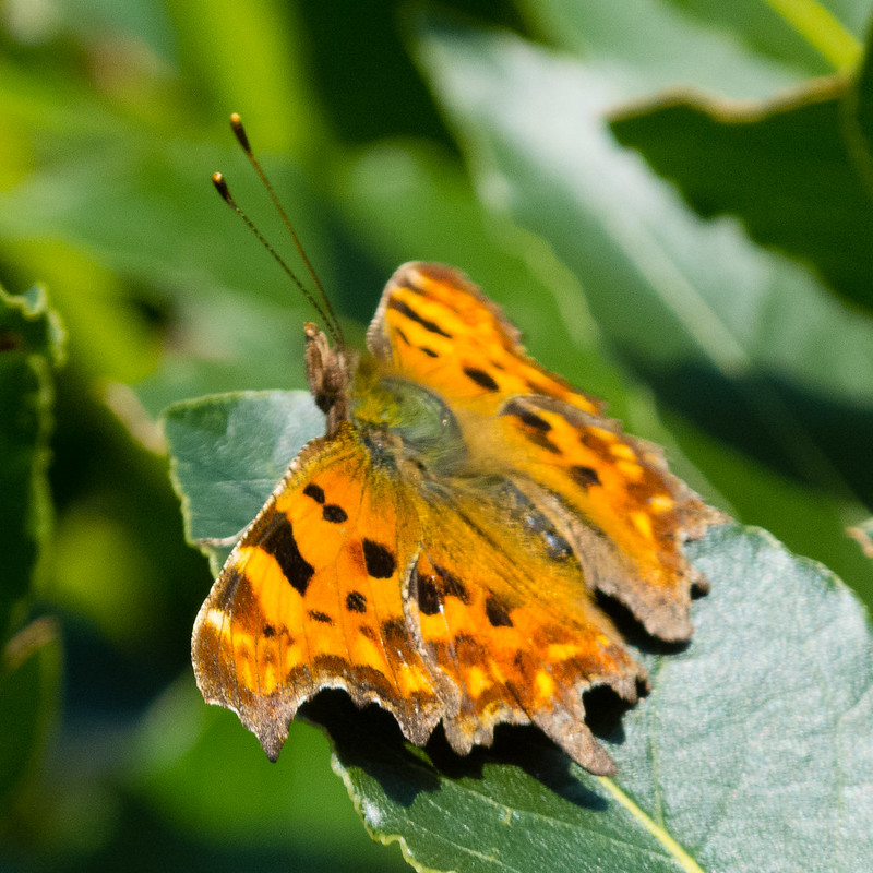 #lockdown #gardensafari day one, comma butterfly