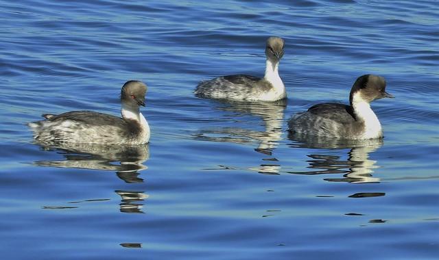 Silvery Grebes at Tongoy Harbor, Chile.