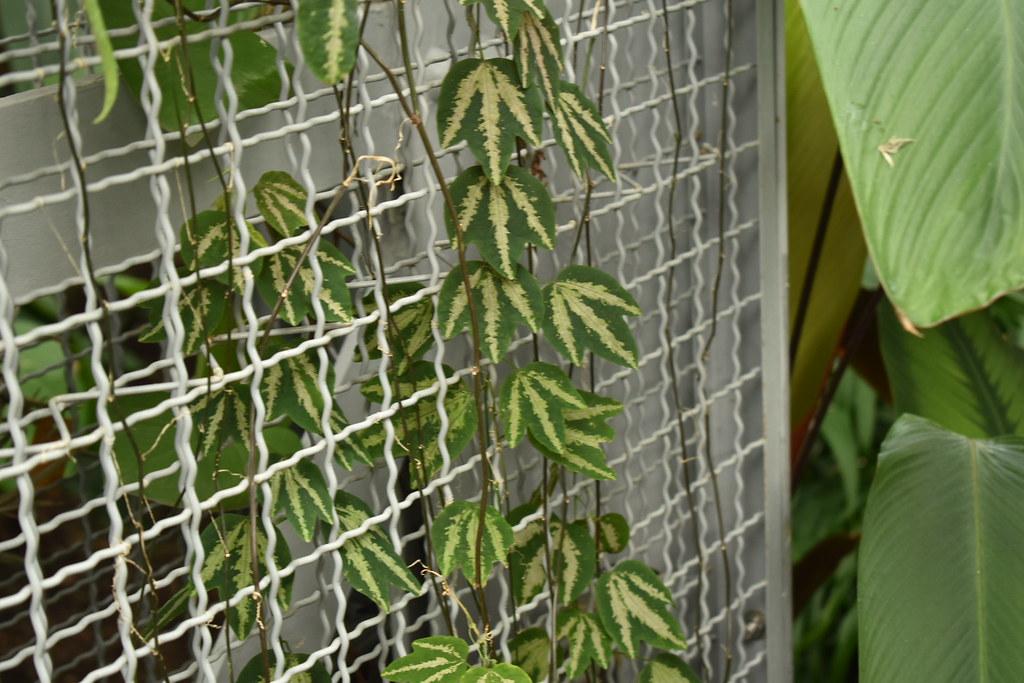 Passiflora trifasciata (1)