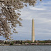Cherry blossoms by Washington Monument