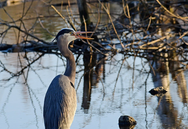 It was only sixty but it was panting hard - Great Blue Heron