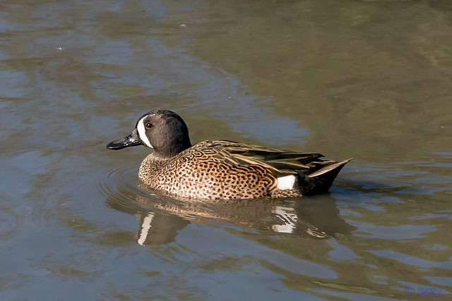 Early Blue Winged Teal