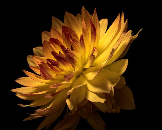 Yellow Dahlia 0819