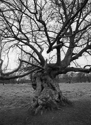 pentax pentax645 645 645nii 6x45 smcpentaxa 35mm f35 foma fomapan fomapan200 fomapan200creative 200iso 120 film 120film mediumformat analog analogue blackandwhite ishootfilm classicblackwhite monochrome filmforever filmphotography d76 larsholte homeprocessing dyrehaven jægersborgdyrehave denmark danmark oak tree landscape