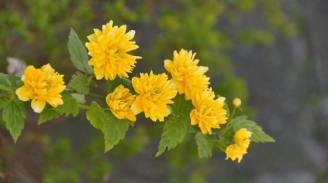 Kerria japonica (Ranonkel)