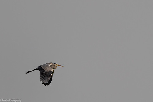heron blue birds unilag lagos nikon d850 500 pf f56