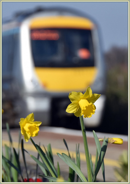 Daffodils at Tyseley