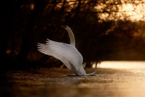 swan lake whiltingham broad norfolk uk wildlife bird sunset jonathan casey photography nikon d850 400mm f28 vr
