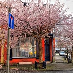 Pink blossom in the streets of Preston