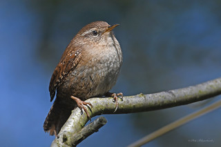 Eurasian Wren, (explored) | by PETEJLB