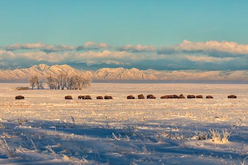 bison buffalo animals snow mountains rockies rockymountainarsenalnationalwildliferefuge colorado landscape landscapes