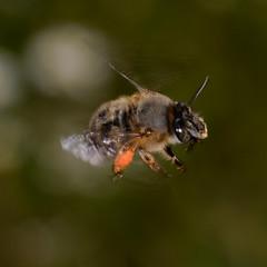 Wild bee in flight