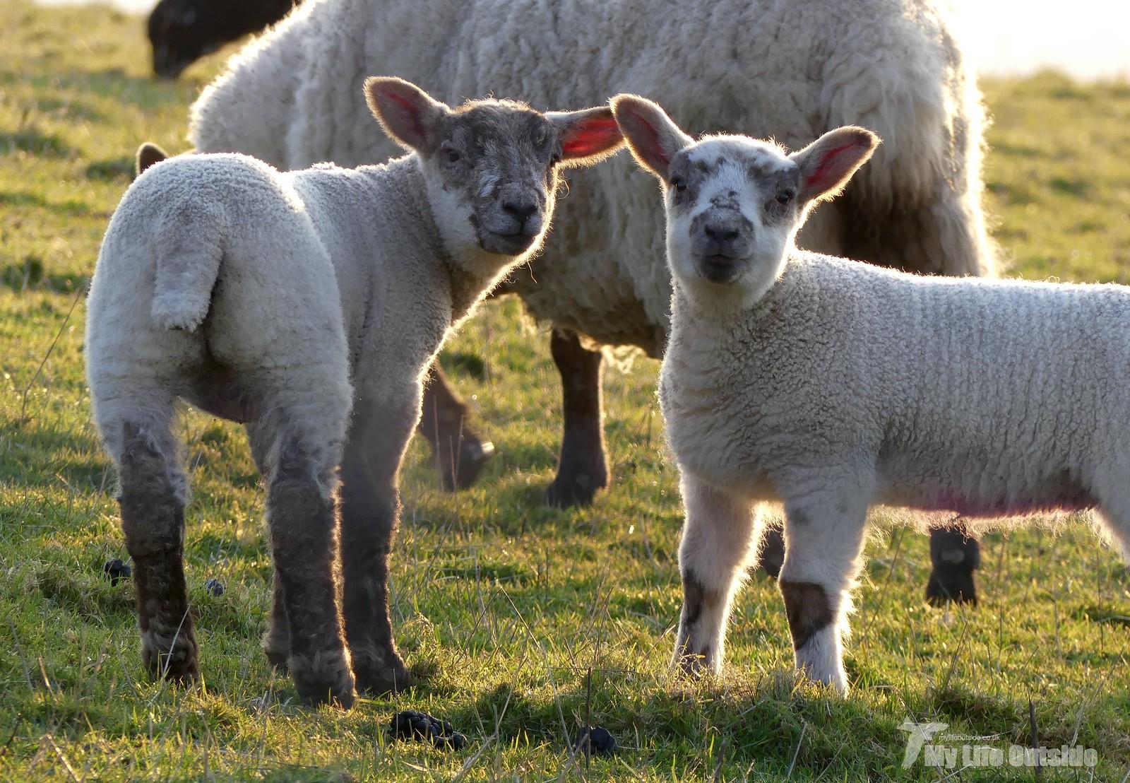 P1240114 - Lambs at sunset