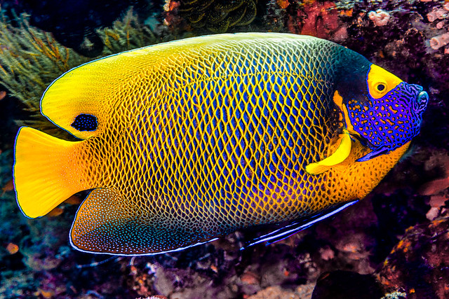 Yellow-mask Angelfish - Pomacanthus xanthometopon
