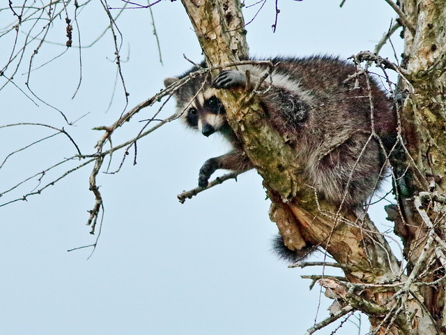 Raccoon 02-20200325