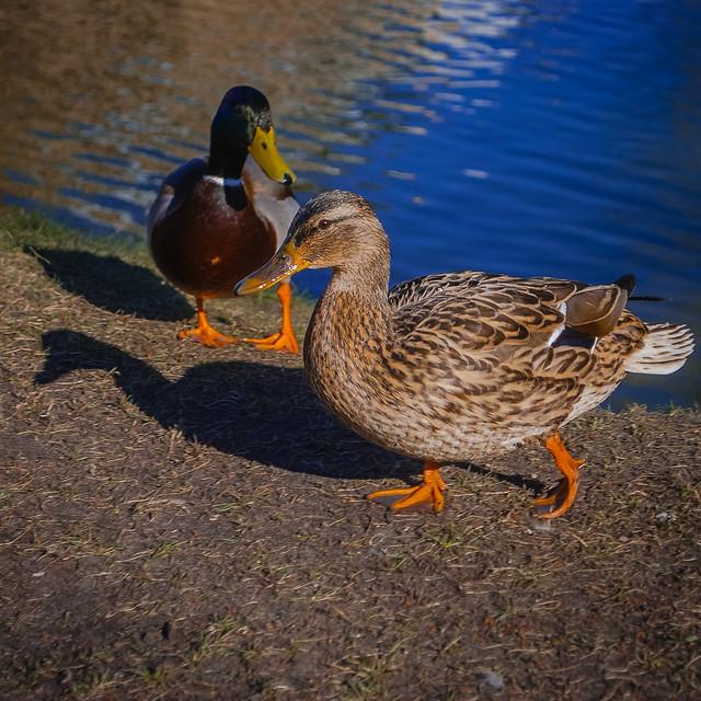 Pretty ducks! DSC_4770