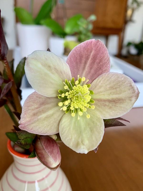 heavenly hellebores #hellebore #lentenrose #flowerpower