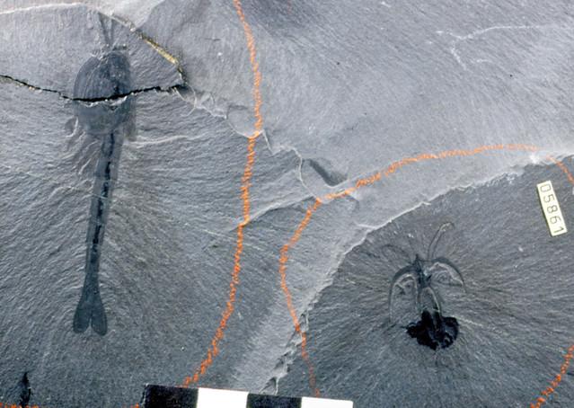 Waptia fieldensis & Marrella splendens (fossil arthropods) (Burgess Shale Formation, Middle Cambrian; Walcott Quarry, above Field, British Columbia, Canada)