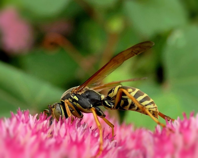 Wasp (Explored)