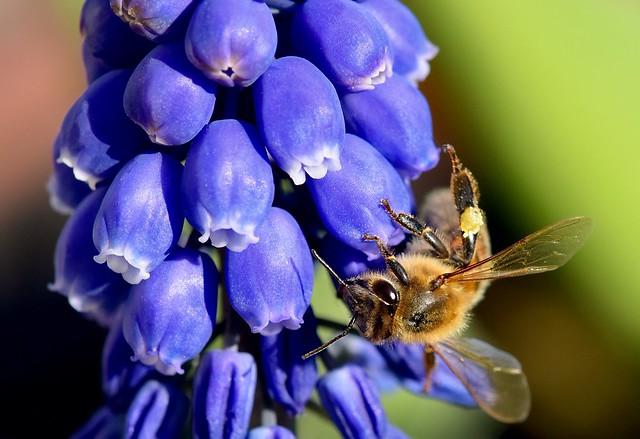 Abeille sur fleurs de Muscaris