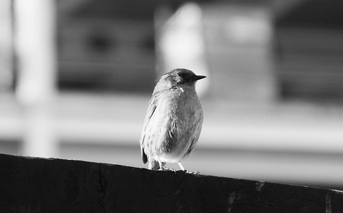 Wee Songbird Singing to the City