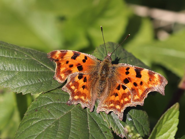 Wing Wednesday Comma!
