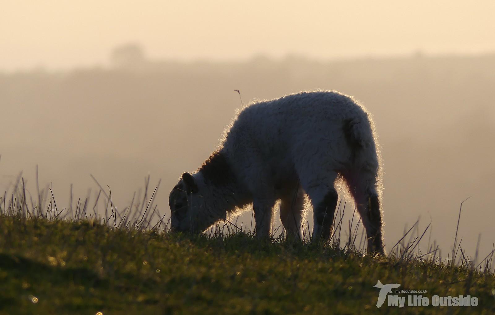 P1240129 - Lambs at sunset