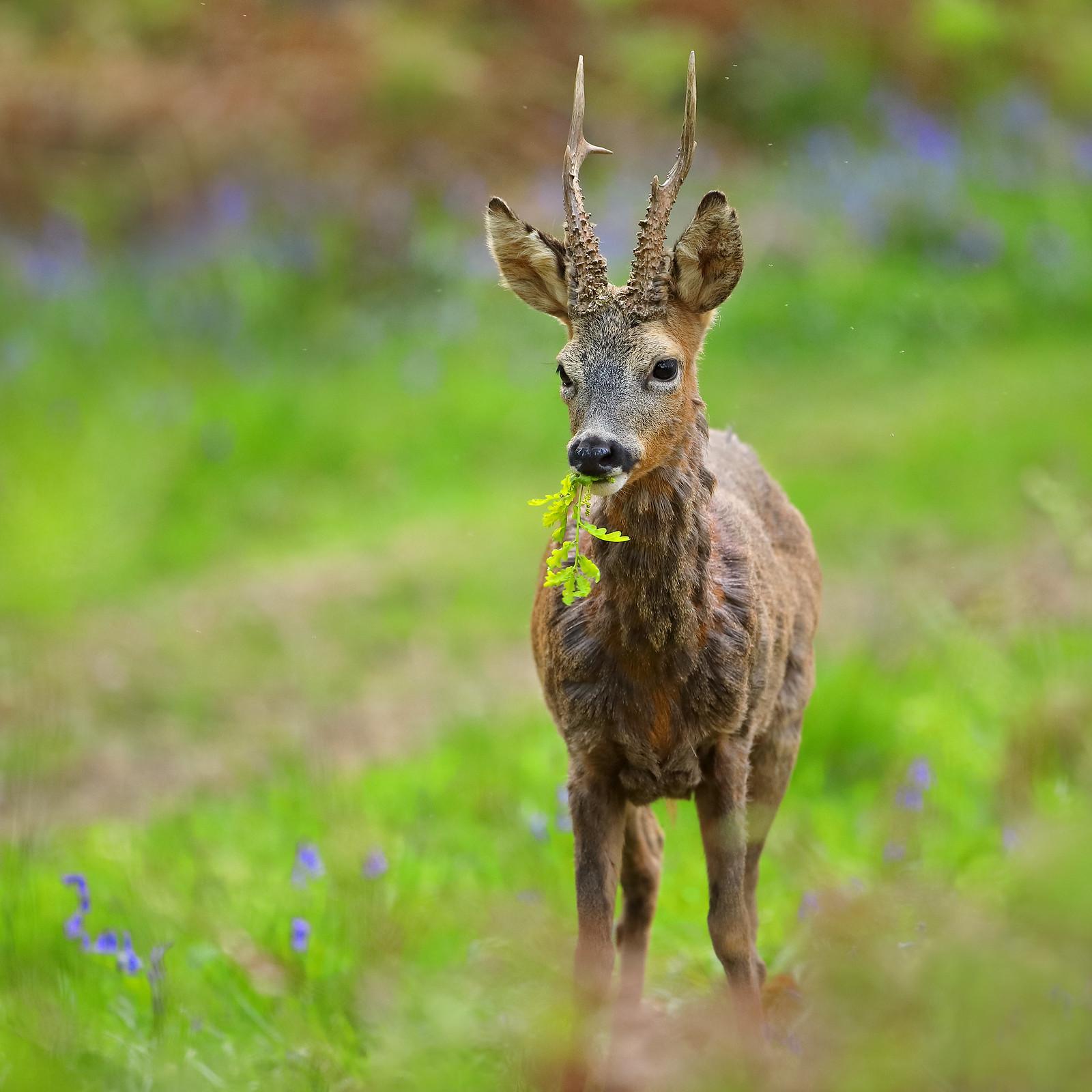Roe deer eating oak leaves in bluebell wood